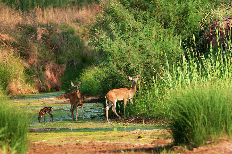 Nature Photography Photograph - Morning Drink, Color - Deer, Palo Duro Canyon State Park, Texas by Richard Porter