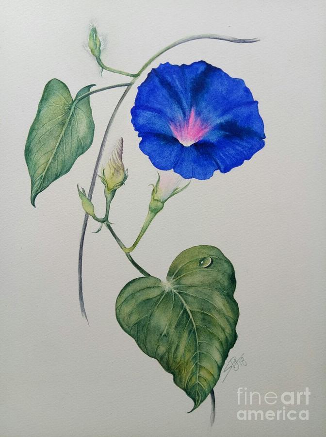 Morning Glory Convolvulaceae, by Sandra Phryce-Jones