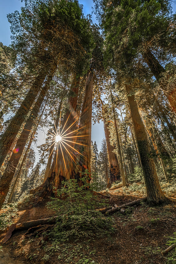 Morning in the Giant Forest by Peter Tellone