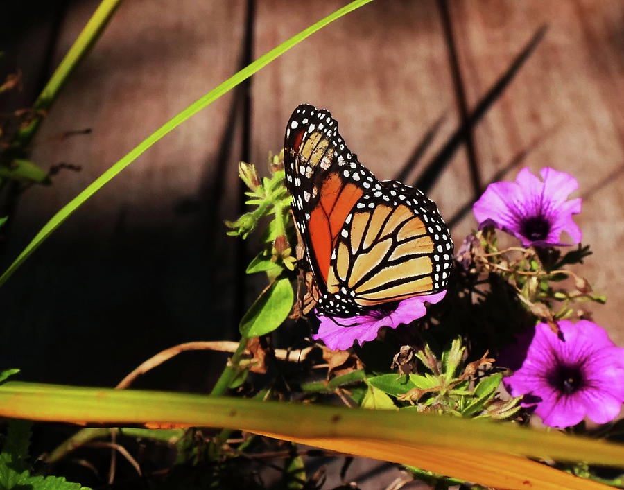 Morning Monarch by JACK RIORDAN