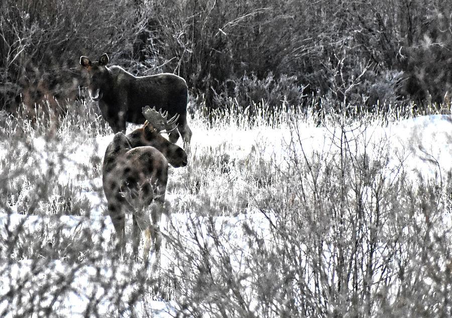 Morning Moose by Jason Bohannon