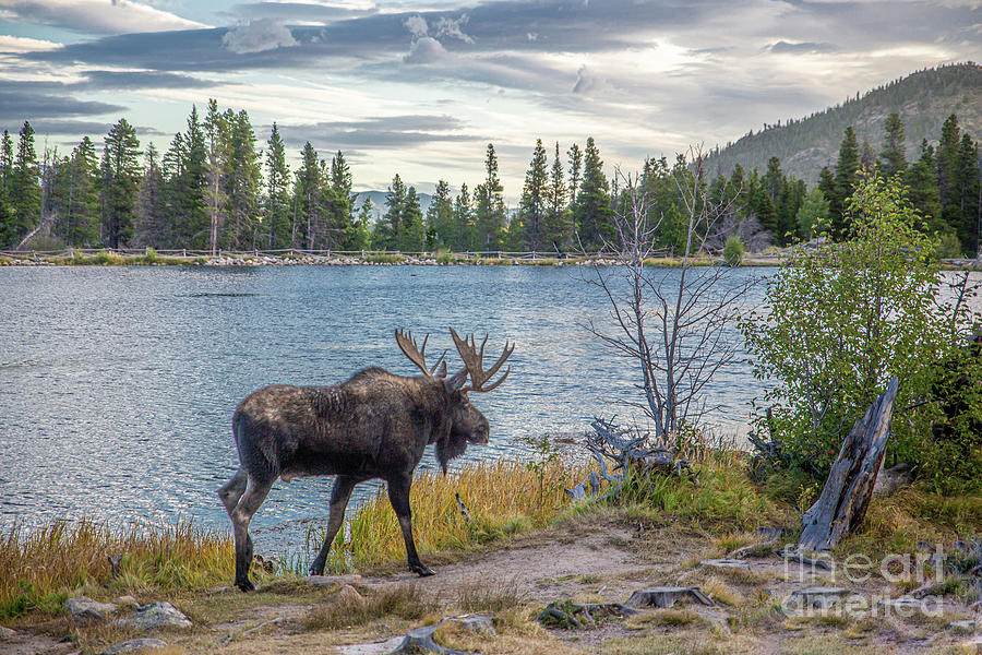 Morning Moose Photograph