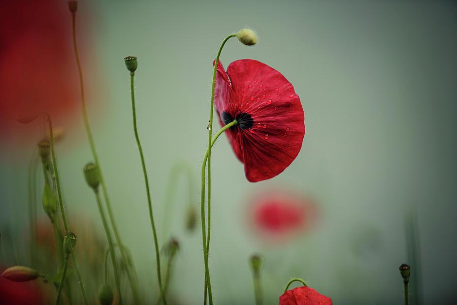 Morning Poppy Flower Photograph