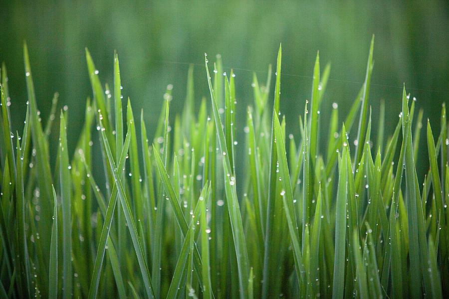 Morning Rain On Rice Photograph by Wesley Hitt