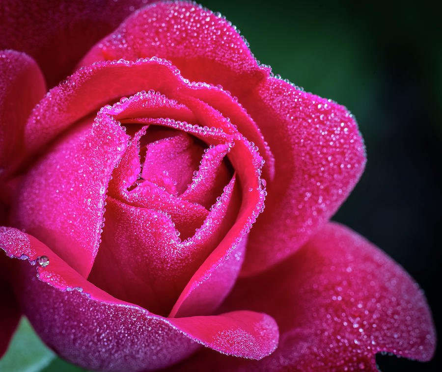 Morning Rose by Brad Bellisle