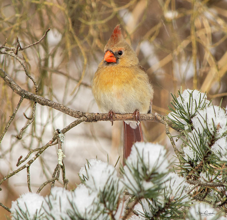 Cardinal Photograph - Morning Visitor by Mike Griffiths