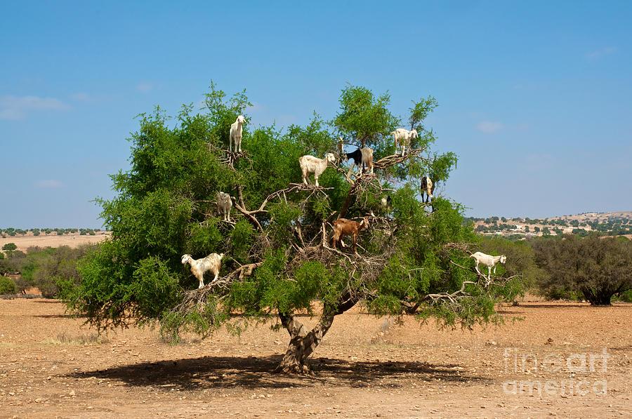 Atlas Photograph - Moroccan Goats In An Argan Tree Argania by Aerostato