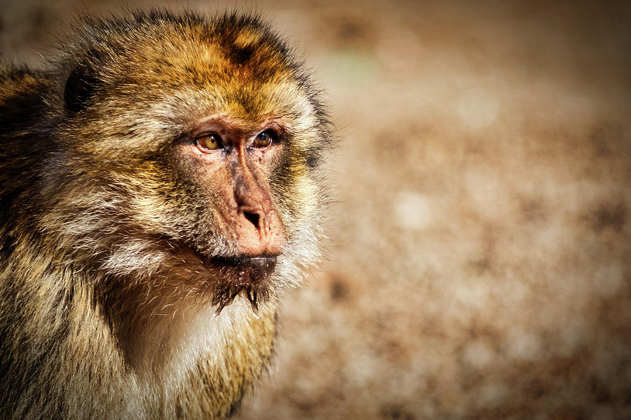 Morocco Macaque #2 by Stuart Litoff