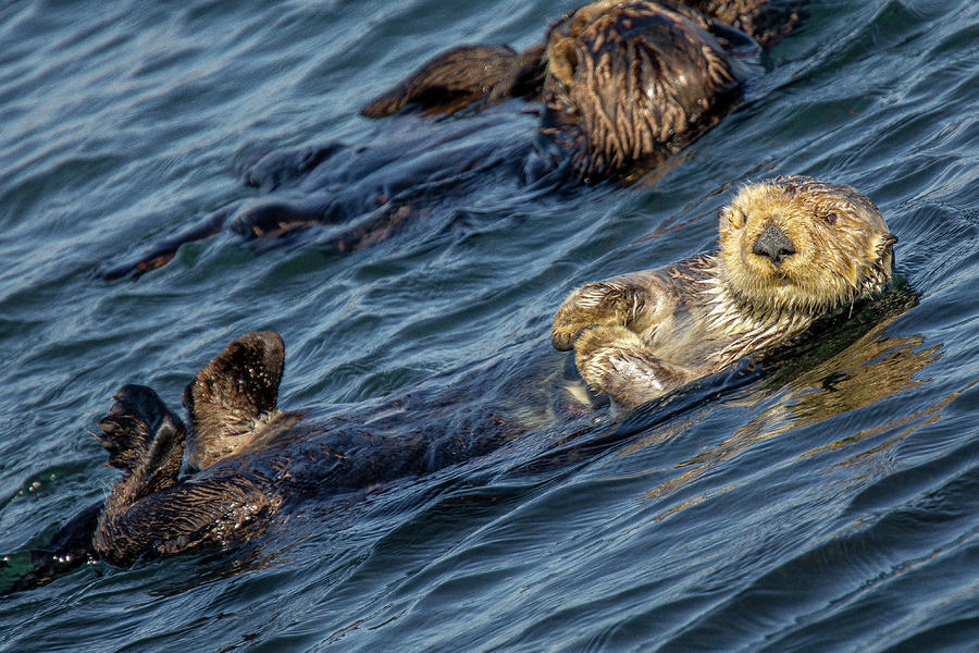 Morro Bay Sea Otter by Donald Pash
