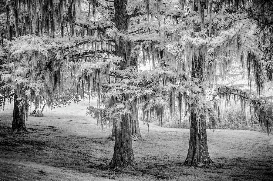 Moss Laden Trees 4132 by Donald Brown