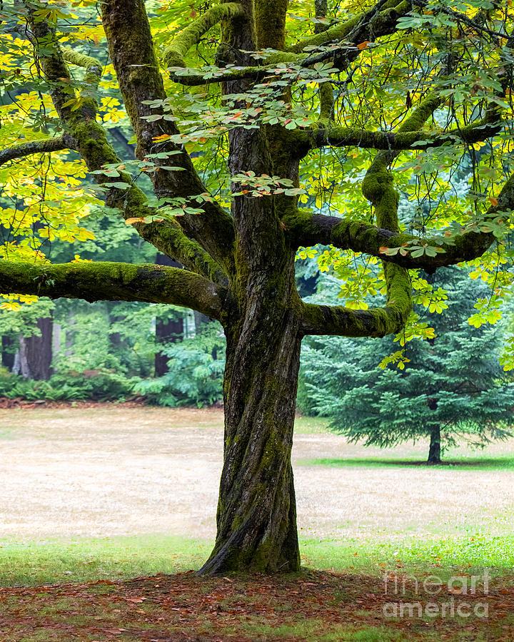 Mossy Tree by Alma Danison