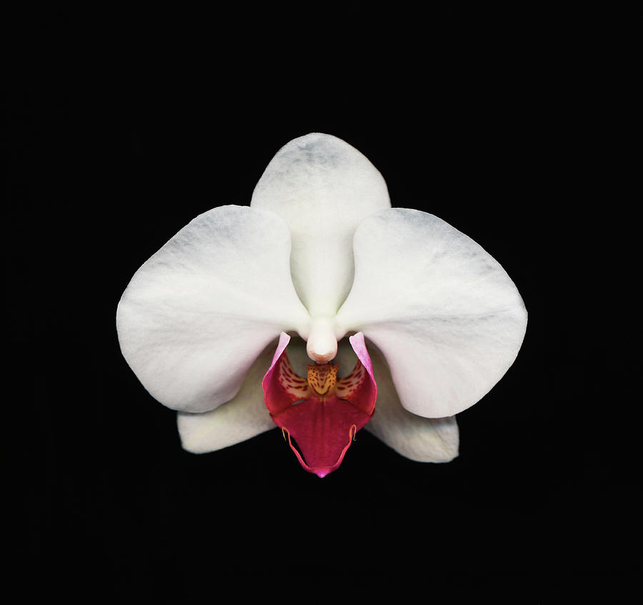 Moth Orchid Against Black Background Photograph by Mike Hill