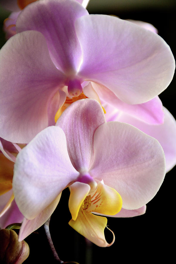 Moth Orchids Sitting Near The Window by Angie Tirado