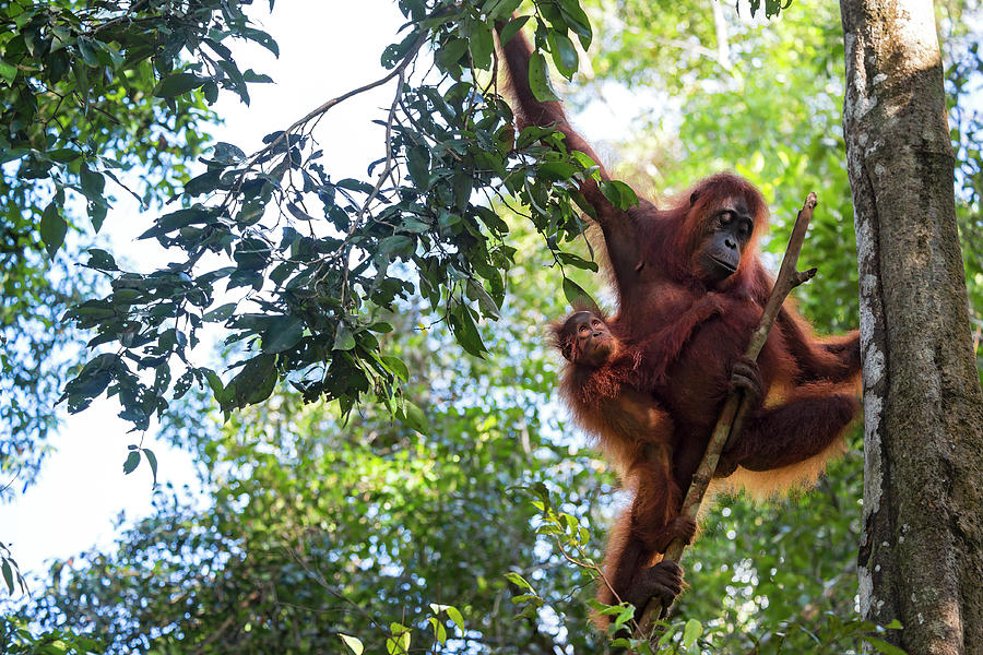 Mother And Baby Orang Utan In The Photograph by Guenterguni