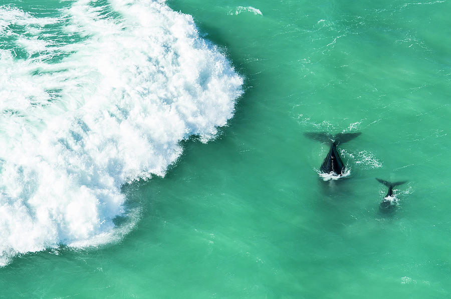 Mother And Calf Southern Right Whale Photograph by Peter Chadwick