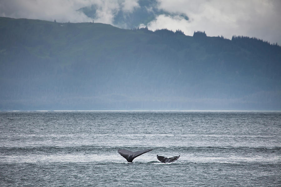 Mother And Calf Whale Tails Megaptera Photograph by Blake Kent / Design Pics