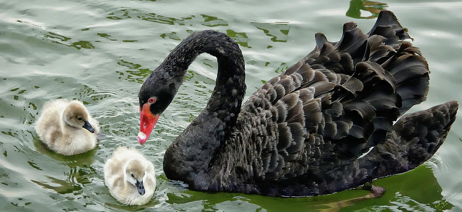 Swan Photograph - Mother And Child Reunion by Rick Lawler