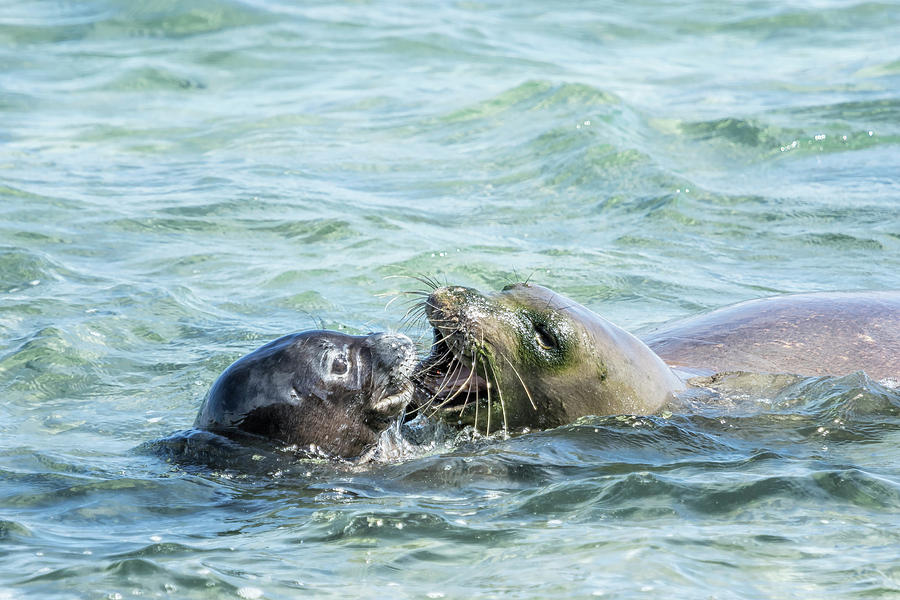 Mother and Pup Monk Seals - RB00 and PK1 by Belinda Greb