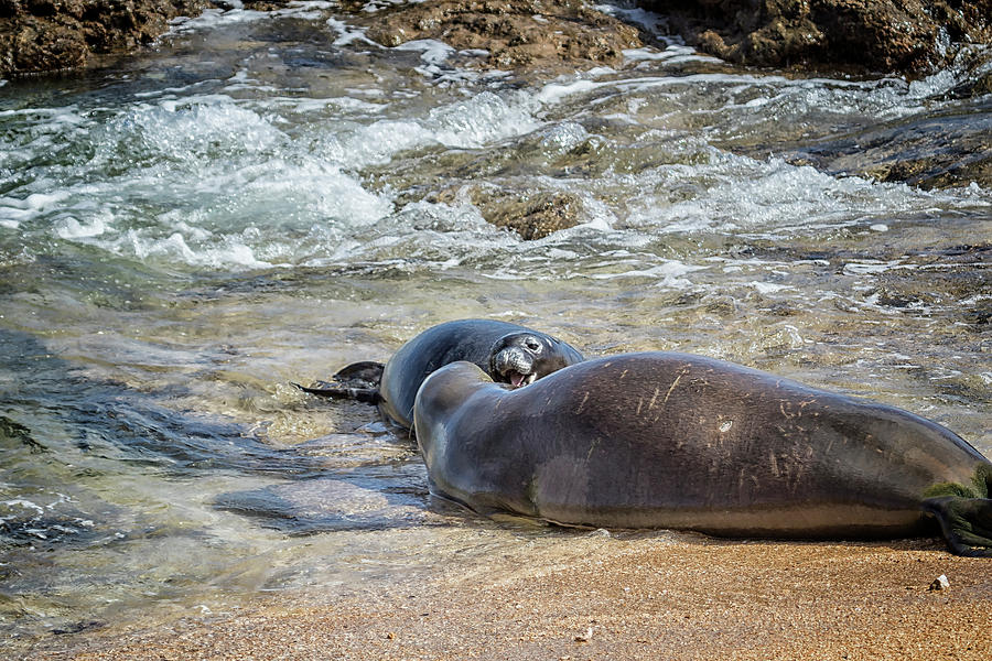 Mother and Pup Monk Seals Size Comparison - RB00 and PK1 by Belinda Greb