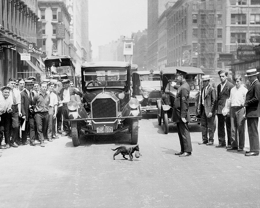 Mother Cat Blackie Halts Traffic As She Photograph by New York Daily News Archive