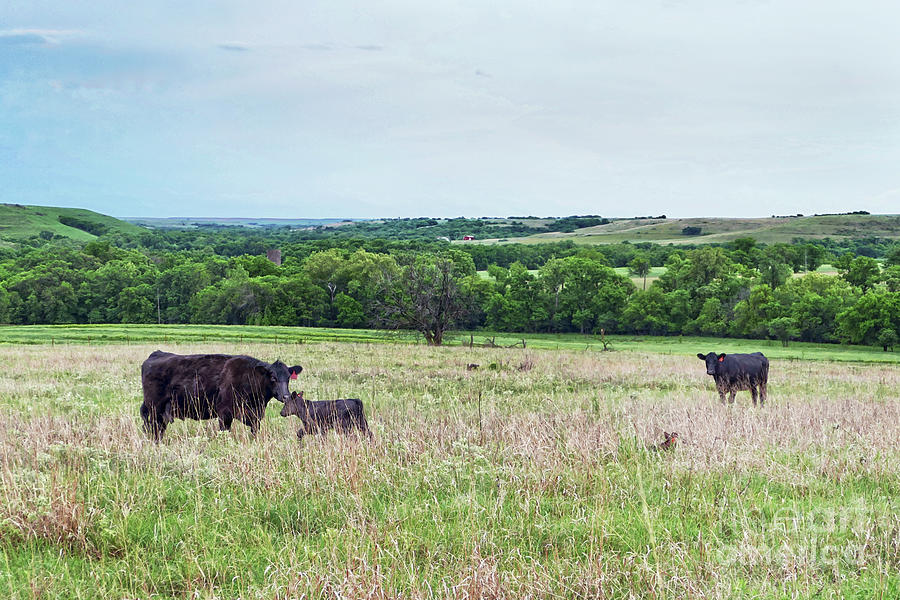 Mother Cows And Calves Photograph