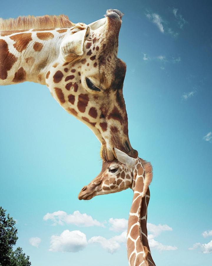 Mother Giraffe Nuzzling Calfs Head Photograph by Gandee Vasan