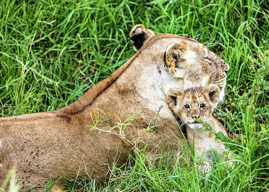 Mother Lion and Baby Cub in Kenya Africa by Susan Schmitz