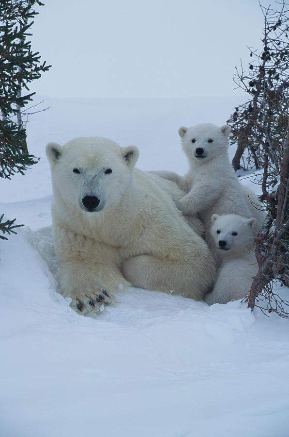 Mother Polar Bear & Her Cub, Canada Photograph by Art Wolfe