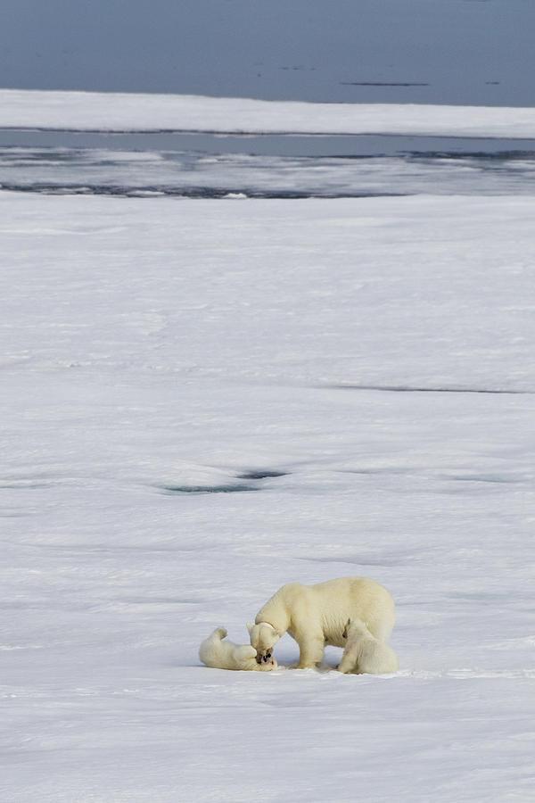 Mother Polar Bear And Two Cubs Photograph by A Gandola