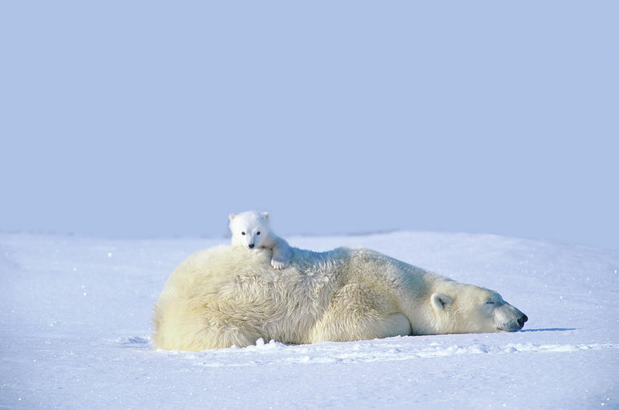 Mother Polar Bear With Cub, Lying On Photograph by Art Wolfe