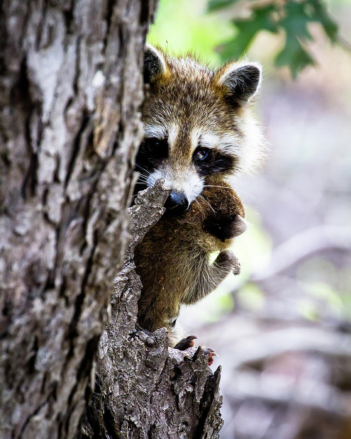 Mother Raccoon Moving Her Kit Photograph