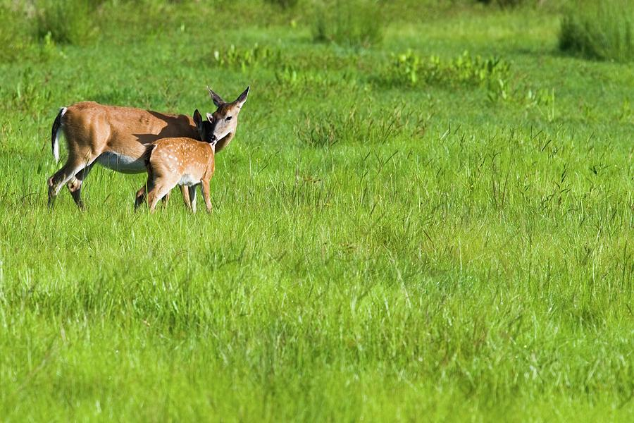 Mother's Day Hugs Doe and Fawn by T Lynn Dodsworth