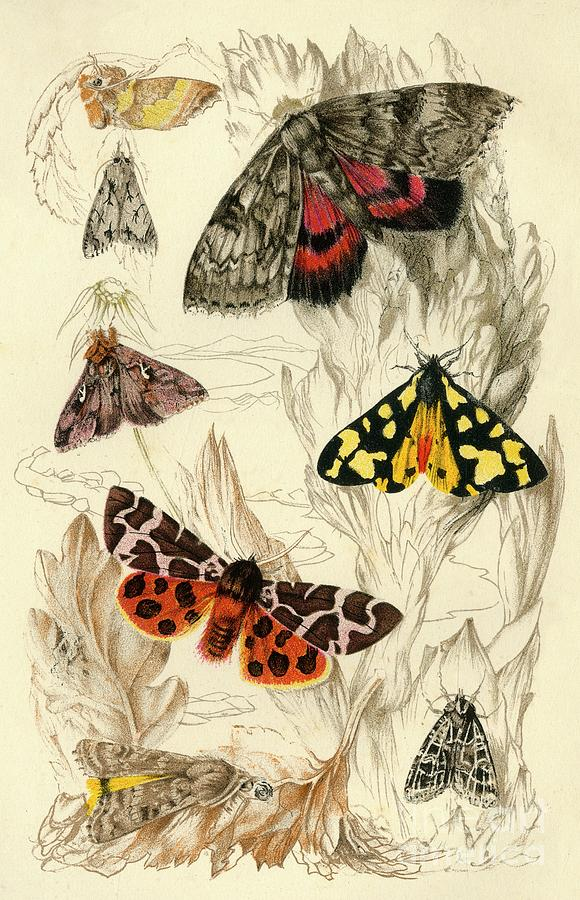Moths Drawing by Print Collector