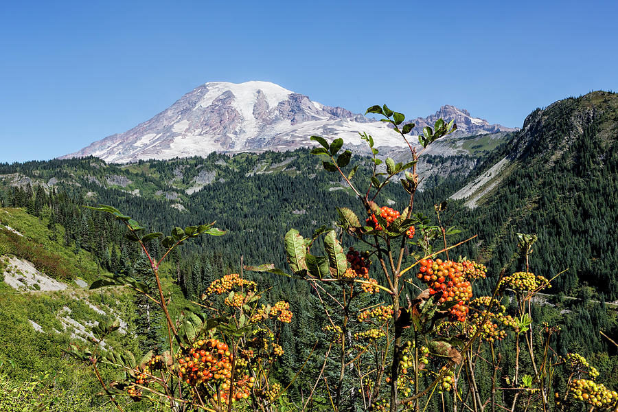 Mount Rainier with Mountain Ash Berries in the Foreground by Belinda Greb