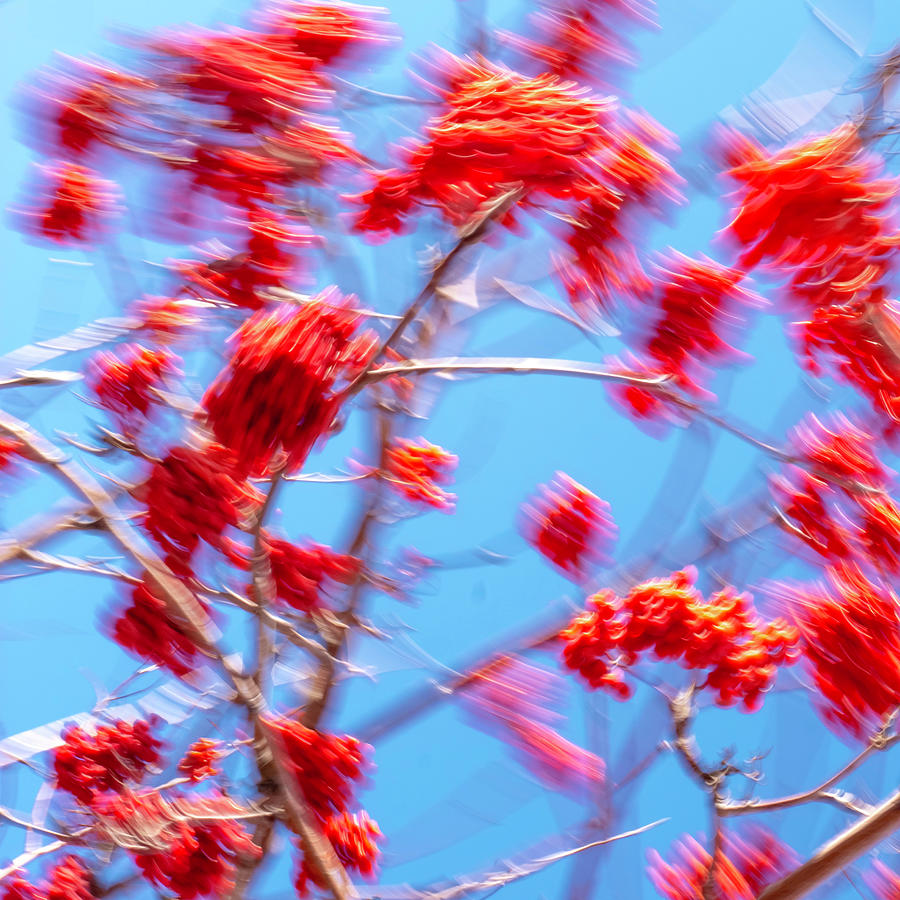 Mountain Ash Tree with Berries in Very Strong Wind by Dutch Bieber