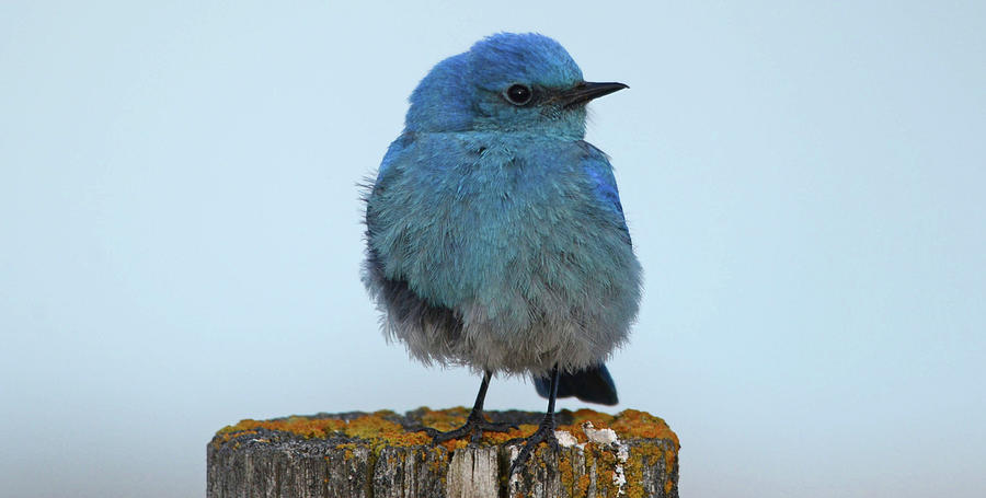 Mountain Bluebird- A Portrait by Whispering Peaks Photography