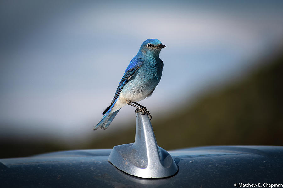 Mountain Bluebird by Matthew Chapman