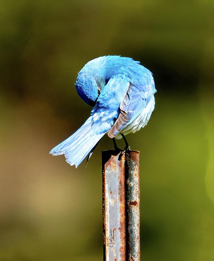 Mountain Bluebird Preening by Judi Dressler