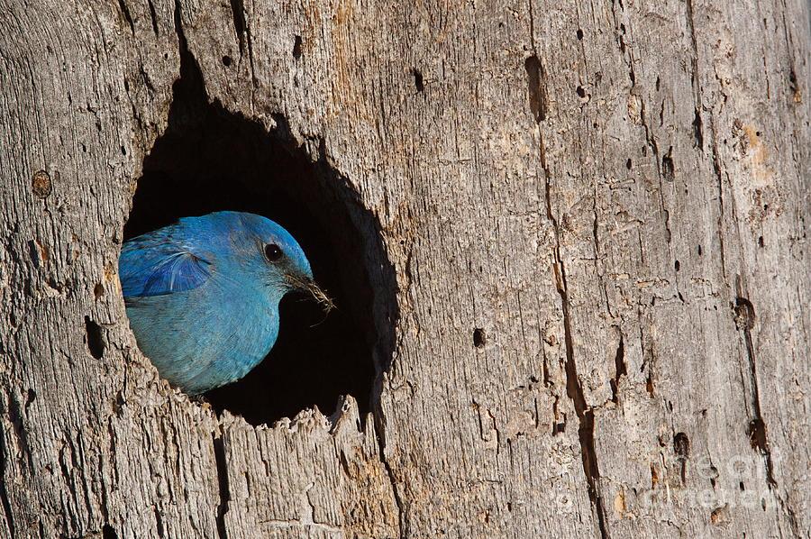 Mountains Photograph - Mountain Bluebird Sialia Currucoides by Tom Reichner