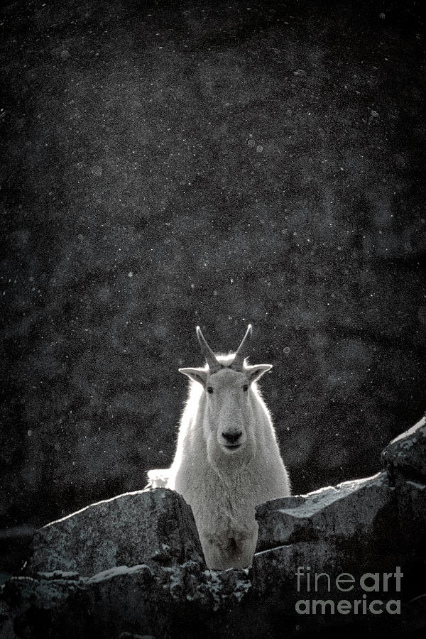 Mountain Goat by Brad Allen Fine Art