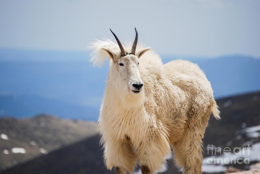 Mountain goat by Steven Liveoak