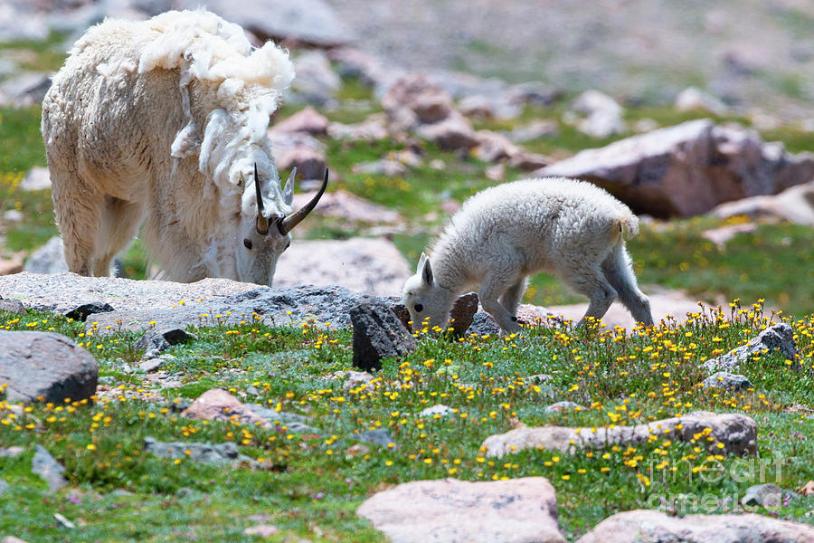 Mountain Goat Kid And Mama On Mount Evans Colorado Photograph