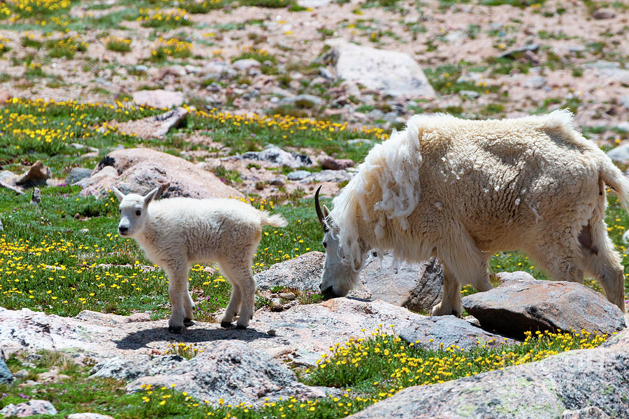 Mountain Goat Kid Mama And Wildflowers Photograph