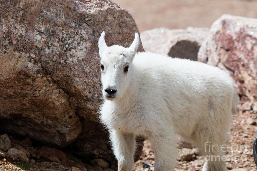 Mountain Goat Kid Portrait On Mount Evans Colorado Photograph