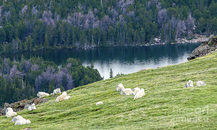 Mountain Goats Above Twin Lakes by Gary Beeler