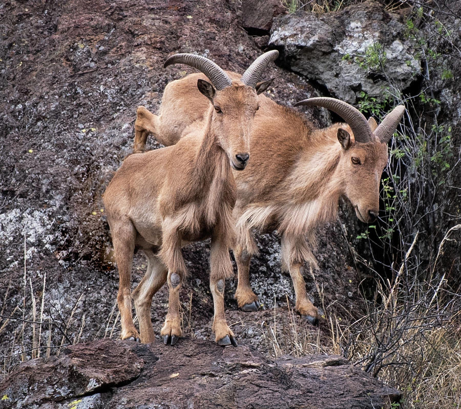Mountain Goats by Dean Ginther