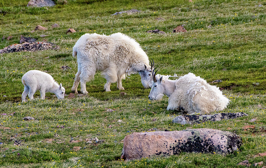 Mountain Goats by Gary Beeler