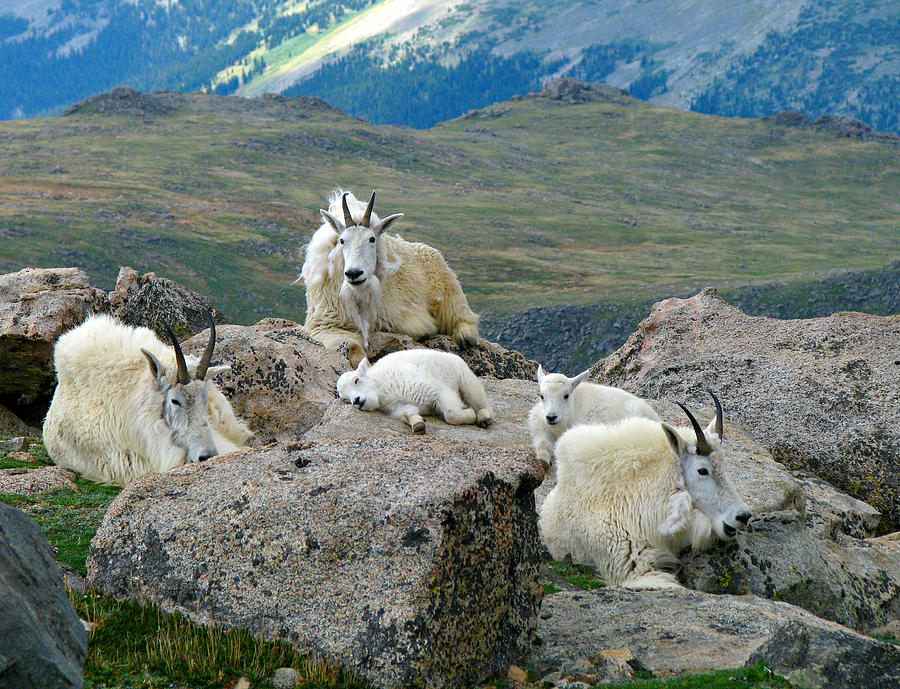 Mountain Goats In The Rocky Mountains Photograph by Carl Neufelder