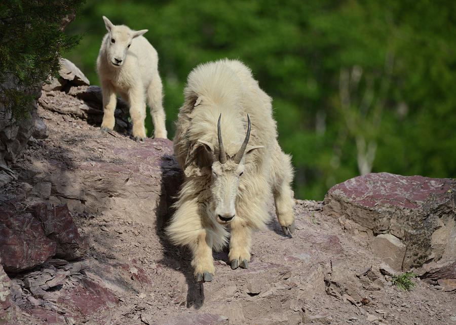 Mountain Goats Photograph - Mountain Goats- Nanny And Kid by Whispering Peaks Photography