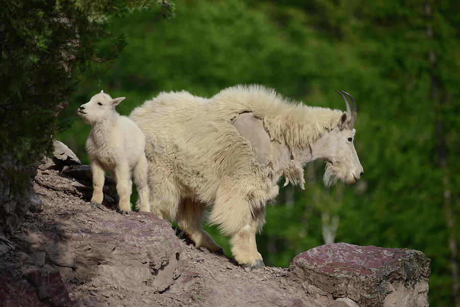 Mountain Goats by Whispering Peaks Photography